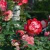 はままつフラワーパークは秋バラが今見頃!特徴やアクセス方法は?