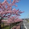 2018豊川市「西古瀬川の河津桜」今が見頃!行き方や駐車場