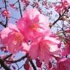 2020【河津桜の開花予想】愛知や静岡のおススメ穴場スポット