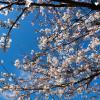 2018桜まつり「向山緑地」に行こう!見頃はいつ?売店、トイレやアクセスも!