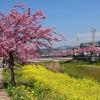 2020豊川市「西古瀬川の河津桜」今が見頃!行き方や駐車場